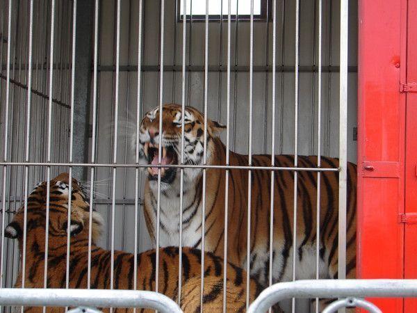 visite de la ménagerie du cirque Amar